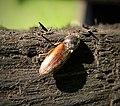 Click beetle Elateridae , Agriotes species possible (2) (45084947084).jpg