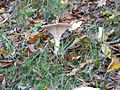 Clitocybe geotropa - aka Trooping Funnels - Flickr - peganum (1).jpg