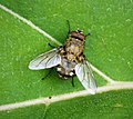 Cluster Fly Calliphoridae (25888910138).jpg