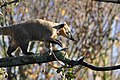 Coati on Branch (6371155699).jpg