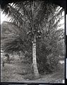 Coconut Tree (4), photograph by Brother Bertram.jpg