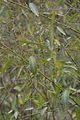 Codariocalyx motorius - Agri-Horticultural Society of India - Alipore - Kolkata 2013-01-05 2340.JPG