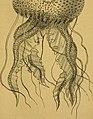 Coelents, inodermes, protozoaires (echinodermes) (20662301685).jpg