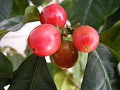 Koffiebessen van de koffieplant