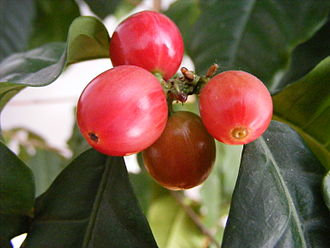 Coffee bean - Coffee berries