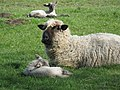 Cogges Manor Farm Museum, sheep. - geograph.org.uk - 745416.jpg