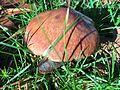 Cogumelos do Geres (22657465824).jpg