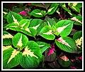 Coleus Plant (12953060043).jpg