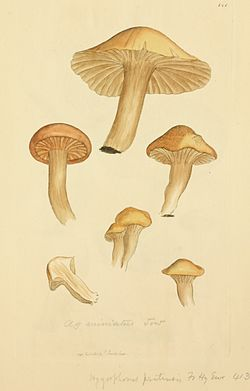 Coloured Figures of English Fungi or Mushrooms - t. 141.jpg