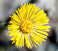 Coltsfoot close-up aka.jpg