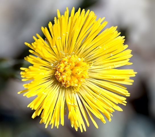 external image 545px-Coltsfoot_close-up_aka.jpg
