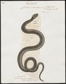 Coluber ordinatus - 1700-1880 - Print - Iconographia Zoologica - Special Collections University of Amsterdam - UBA01 IZ12100063.tif