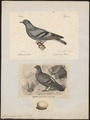 Columba livia - 1700-1880 - Print - Iconographia Zoologica - Special Collections University of Amsterdam - UBA01 IZ15600153.tif
