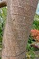Colvillea racemosa - Mounts Botanical Garden - Palm Beach County, Florida - DSC03825.jpg