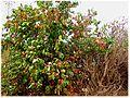 Combretum micranthum. Hedgerow.jpg