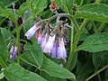 Comfrey near the Rhymer's Stone - geograph.org.uk - 1317894.jpg