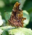 Comma. u-s. Female. Ist brood. Polygonia c-album - Flickr - gailhampshire (1).jpg