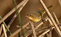 CommonYellowthroat-29JAN2017.jpg
