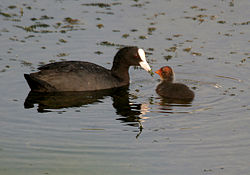 Common Coot (Fulica atra)- Adult feeding juvenile W IMG 8302.jpg