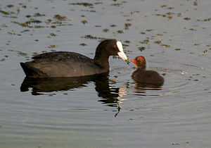 Biological ornament - An adult common coot feeding its offspring