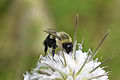 Common Eastern Bumble bee (Bombus impatiens) (14668688779).jpg