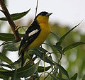 Common Iora (Aegithina tiphia) in Hyderabad W IMG 8863.jpg