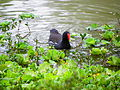 Common Moorhen in Daan Park.jpg