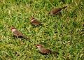 Common Waxbill (5674188113).jpg