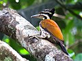 Common flameback woodpecker female.jpg
