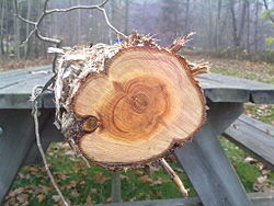 Common juniper cut.jpg