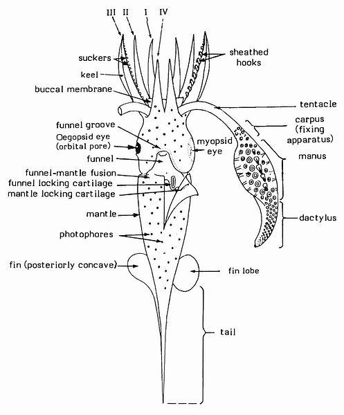 File Composite Diagram Illustrating Basic Squid Features