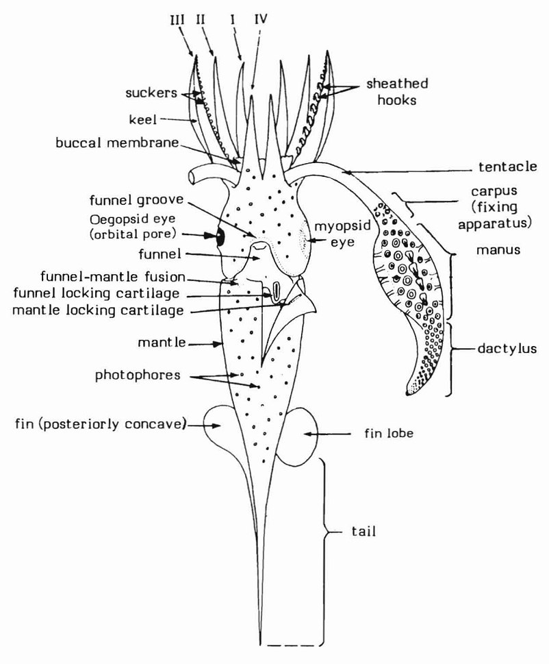 Composite diagram illustrating basic squid features, ventral aspect