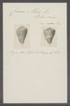 Conus mus - - Print - Iconographia Zoologica - Special Collections University of Amsterdam - UBAINV0274 086 05 0003.tif