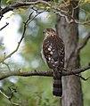 Cooper's Hawk (36660084353).jpg