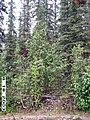 Copper Creek, Yukon-Charley Rivers, 2003 (d2858990-bd3f-43ac-959c-7c7fb4ace453).jpg
