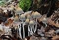 Coprinellus micaceus - Mica Cap.jpg