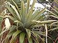Cordyline indivisa (tanetahi) 002.jpg