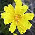 Coreopsis bigelovii NPS.jpg