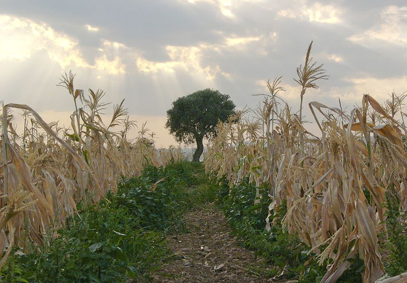 File:Corn-cyprus hg.jpg