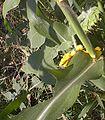 Corn-related.JPG