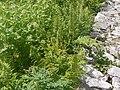 Corydalis cornuta (7821731454).jpg