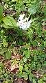 Corydalis sp., Ranunculaceae 02.jpg