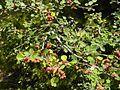 Cotoneaster nummularius 4.jpg