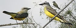 Couch's Kingbird From The Crossley ID Guide Eastern Birds.jpg