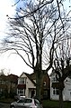 Coulsdon, Very tall tree in Windermere Road - geograph.org.uk - 1778858.jpg