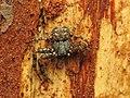 Crab Spider (33923117114).jpg
