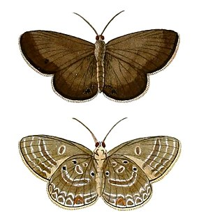 <i>Lepidochrysops parsimon</i>