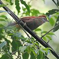 Cranioleuca vulpina - Rusty-backed Spinetail.jpg