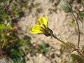 Crepis tectorum inflorescence (02).jpg