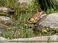 Crimson-winged Finch (Rhodopechys sanguineus) (35424611620).jpg